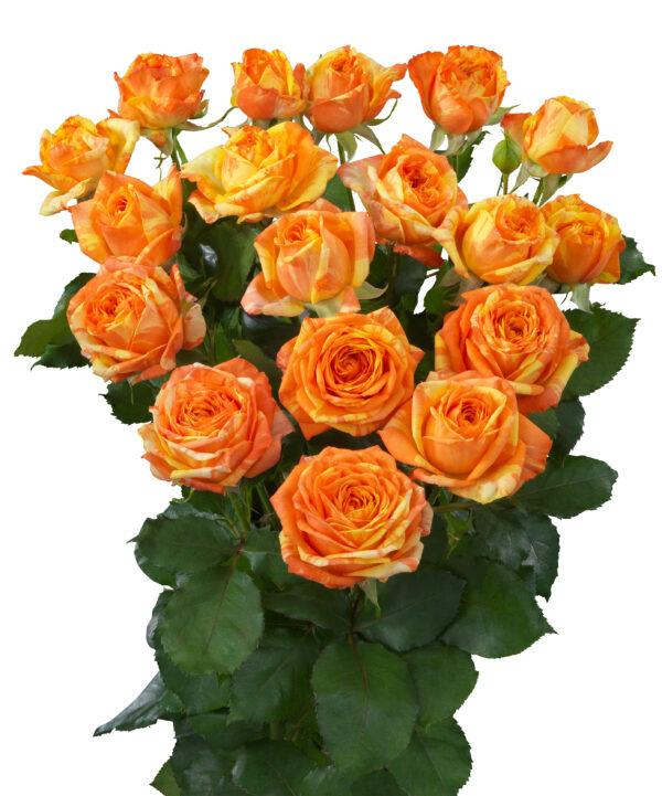 Orange Peps (hr)