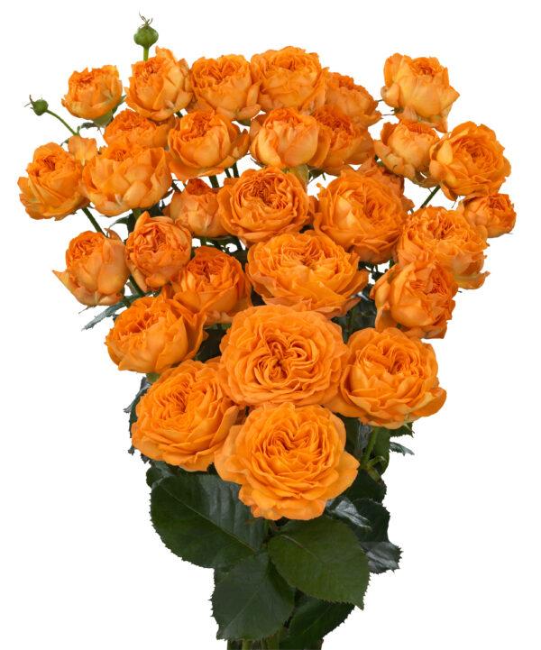 Orange Trendsetter (hr)
